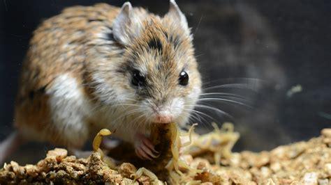 grasshopper mouse uses venom as painkiller nova next pbs