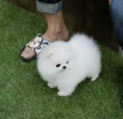 Pomeranian puppies for free