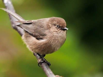 bushtit identification all about birds cornell lab of
