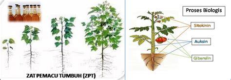 cara sederhana membuat hormon zpt gambar 10 fungsi jenis zpt pada bagian tanaman