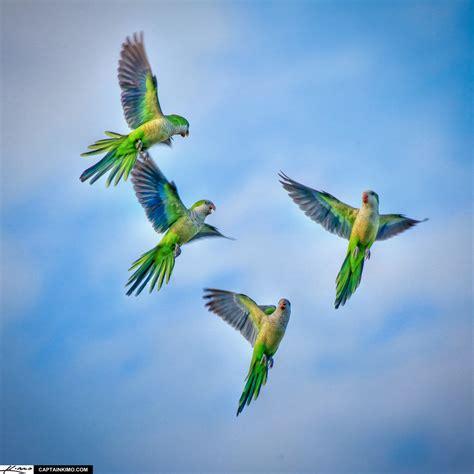 monk parakeets flying  sky palm beach gardens florida