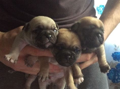pugs for sale in bc 3 4 pugs for sale abergavenny monmouthshire pets4homes