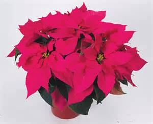 Polly s pink poinsettia