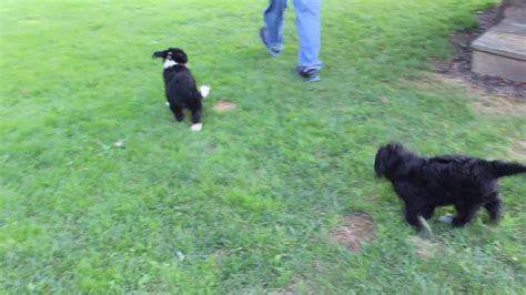 pug puppies for sale in yuma az bernedoodle puppies for sale mike yoder puppies