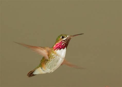 birdnote q a hummingbird migration a way to garden