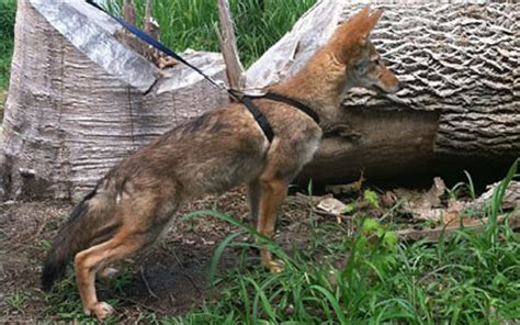 coyote puppies for sale coyote pups for sale related keywords suggestions coyote pups for sale