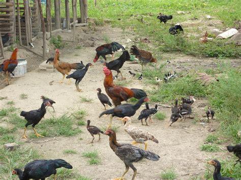 Bibit Ayam Negeri the great tamiang ayam kung untuk dijual