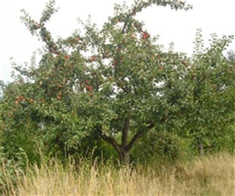 Was Kostet Ein Apfelbaum 2715 by 196 Pfel Apfelbaum Pflanzenkosmos