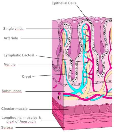 longitudinal section of small intestine digestive health the small intestine jon barron