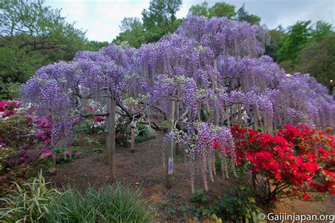 ashikaga flower park ashikaga flower park le magnifique parc aux glycines 224
