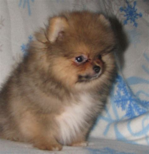 pomeranian coat pomeranian breed 187 information pictures more