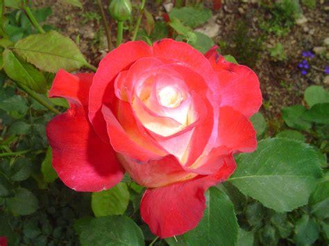fragrant roses in my garden