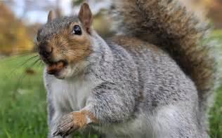 Carolina Curtains Squirrel Trashes Home Leaving 163 7 000 Repair Bill Telegraph