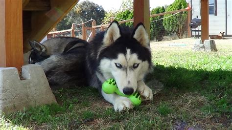 husky puppy toys what type of should you get your husky 171 siberian husky puppies for sale