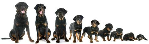 rottweiler growth stages growth of puppy rottweiler stock photo image of growth 72924228