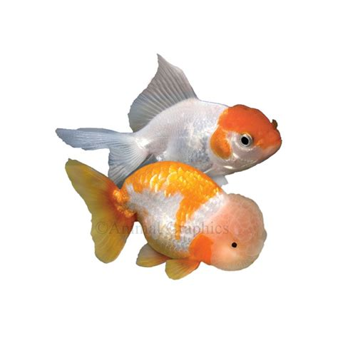 Encyclopedia Of Aquarium Pond Fish Dk Publishing Ebook E Book veiltail goldfish fancy show goldfish goldfish