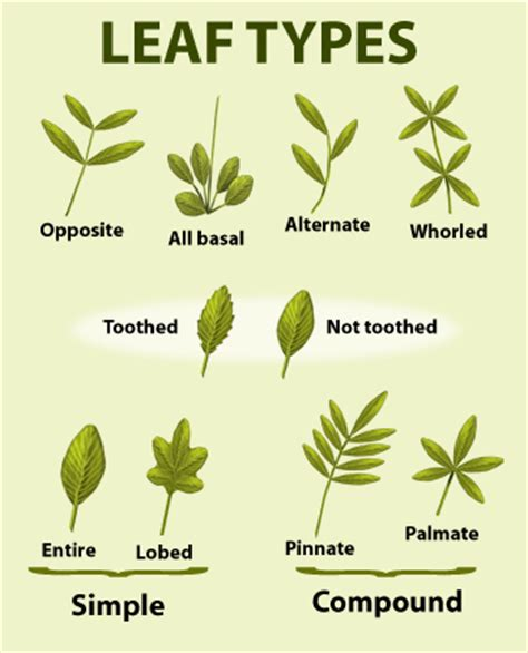 types of foliage plants pics for gt types of compound leaves