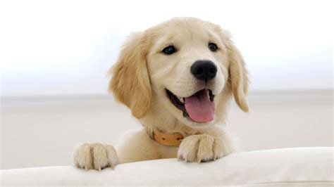 puppy at home pet dogs may help cut stress in the new indian express