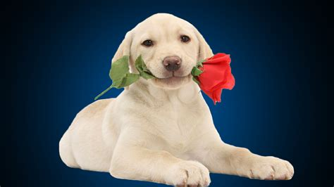 Cute puppy with red rose love wallpapers   Beautiful hd wallpaper