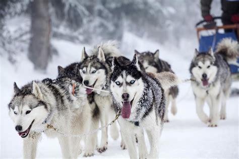 alaska puppies your own personal iditarod an alaska sledding adventure alaska adventure unlimited