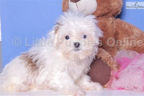 teacup shih poo puppies for sale shih poo shihpoo puppy for sale near columbus ohio a05a4a3a e121