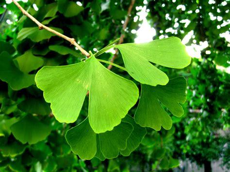 ginkgo biloba maidenhair tree leaves ginkgo biloba has