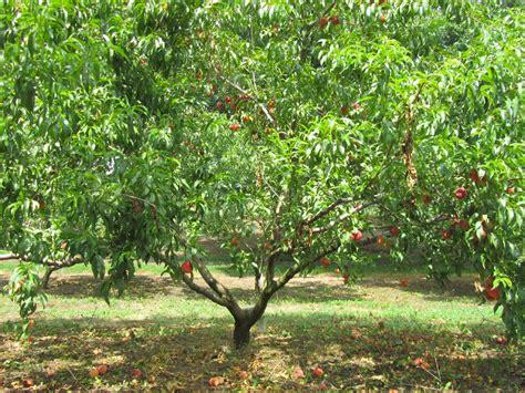Tree Fruit Picker - fruit tree sizes stark bro s
