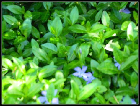 pachysandra periwinkle  flowering crabapple tree