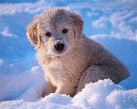 golden retriever bebe chiots ou chiens dans la neige chiot minion animaux animaux et golden
