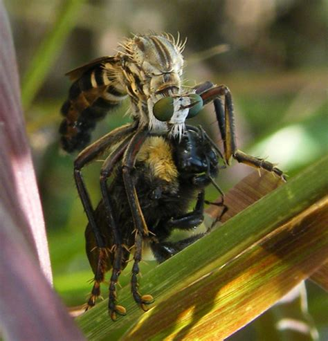 eats bee robber fly eats bumble bee what s that bug