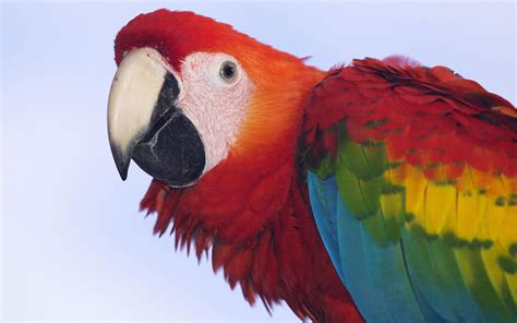 birds the enchanting beauty of the scarlet macaw bird