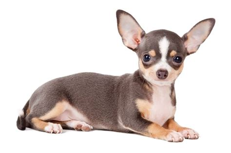 puppies with big ears chihuahua puppies for sale segerios segerios