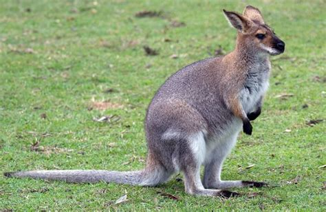 imagenes de animales vertebrados mamiferos el ualab 237 no es un canguro con 243 celo diario animales