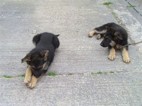 3 month german shepherd puppy 3 month german shepherd puppy for sale pets for sale in the uk