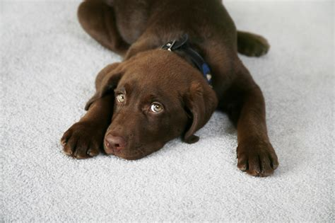 is a dogs clean can carpet cleaning remove urine carpet vidalondon
