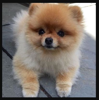 price of pomeranian in philippines the 5 most wanted breeds and their equivalent price in the philippines magtxt