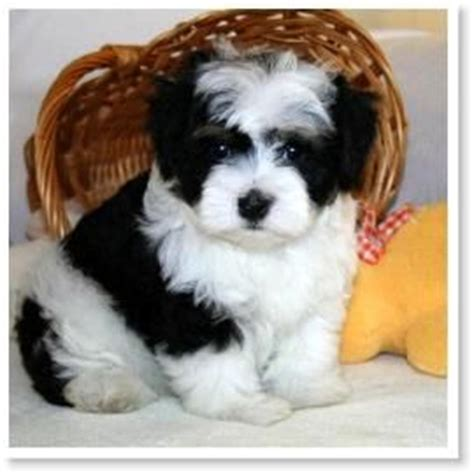 havanese colors 1000 ideas about bichon havanais on bichons chien bichon and breeds