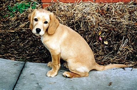 spanador puppies spanador 171 aca breeders kennels