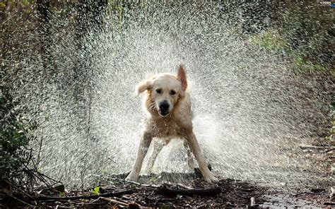 golden retriever in water golden retriever water dogs wallpapers 2560x1600