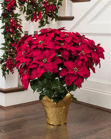poinsettia plant care instructions  list  types
