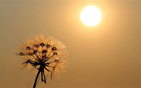 free images free photo dandelion sun dew water plants free