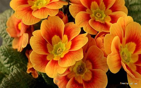 wallpaper flowers images beautiful orange flowers wallpaper responsive