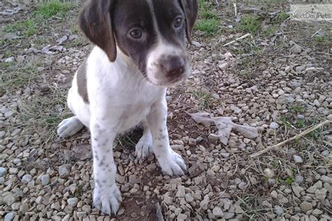 braque francais puppies home breeds puppies for sale braque francais pointer breeds picture