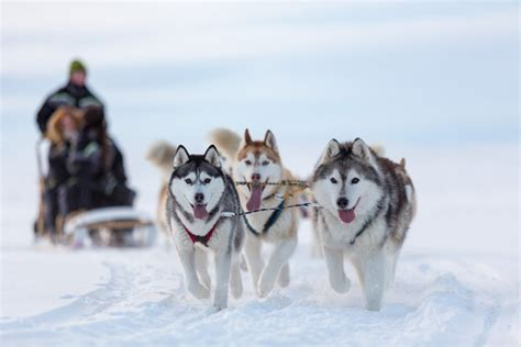 sledding iceland huskies unchained a day of sledding in northern iceland the reykjavik grapevine