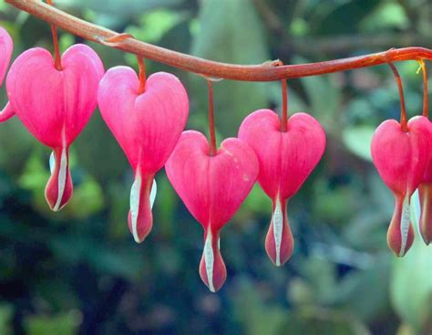bleeding heart flowers hd wallpaper