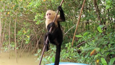 monkey swinging on a vine monkey hanging and jumping from vines stock footage video