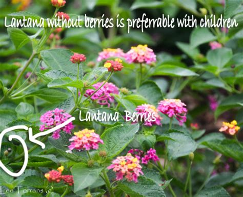 is lantana poisonous to dogs poisonous trees and plants torrans gardeninglee torrans gardening