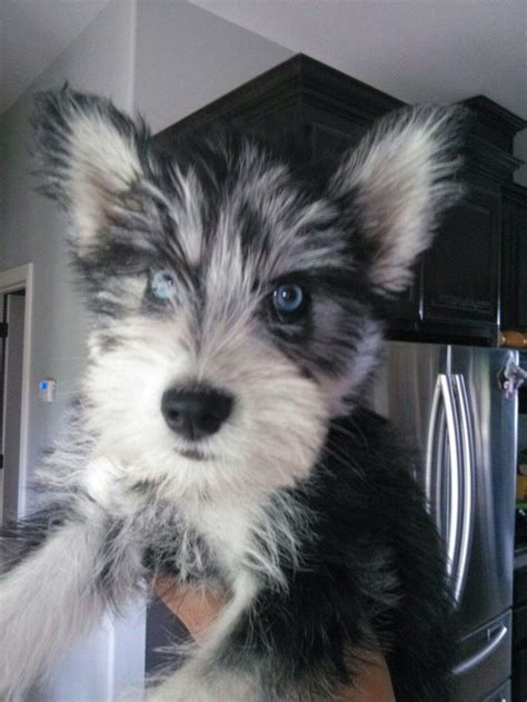 schnauzer mix puppies 25 best ideas about schnauzer mix on miniature schnauzer schnauzer