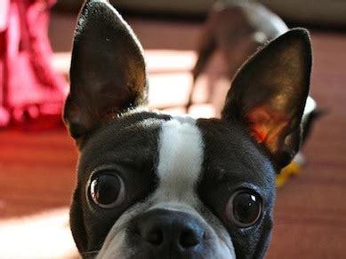 sneeze in dogs choo ah sneezing in dogs petful