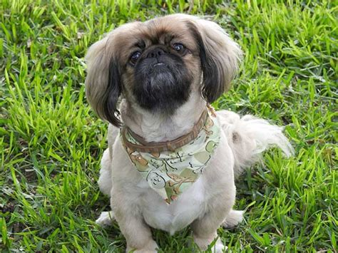 lhasa puppy image gallery lhasaapso